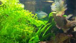 07.05.2015 - Mosaikfadenfisch