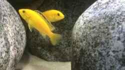 Besatz im Aquarium Stone biotope of Mbunas