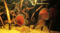 Besatz im Aquarium Diskus Biotop