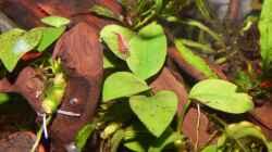 Anubias barteri nana petite