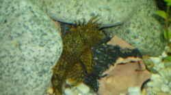 Anciskus Antennenwels Männchen