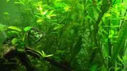 Pflanzen im Aquarium Diskus
