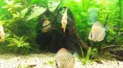 Besatz im Aquarium Diskus