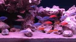 Besatz im Aquarium Mein Malawi Becken