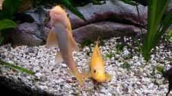 Die beiden Goldschmerlen schwimmen immer gemeinsam.