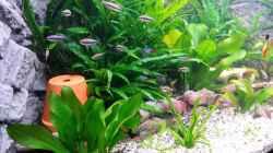 Pflanzen im Aquarium Fluval Venezia 350 Eckaquarium