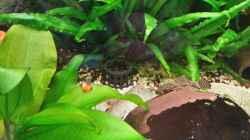Tigerlotus Knolle noch geschützt durch Plastikkörbchen