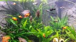 Besatz im Aquarium Fluval Venezia 350 Eckaquarium