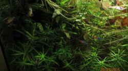 Neons mit Schmetterlingsbuntbarsch