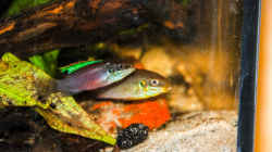 Besatz im Aquarium Enigmatochromis II