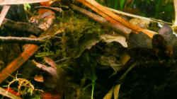 Pflanzen im Aquarium Enigmatochromis II