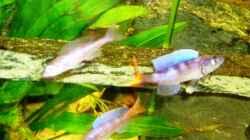 Besatz im Aquarium Tanganjika (aufgelöst)