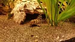 Besatz im Aquarium Haster Bergsee