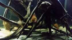 Besatz im Aquarium Wurzelbiotop