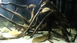 Dekoration im Aquarium Wurzelbiotop