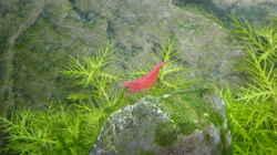 Sakura Red