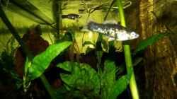 Besatz im Aquarium Becken 31653