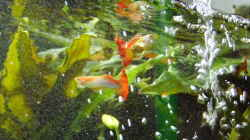 Besatz im Aquarium Easy Scaping (nur noch Beispiel)
