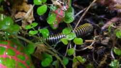 Anadenobulos monilicornis, Neontausendfüßer