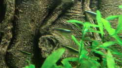 Schwarzer Flaggensalmler(Hyphessobrycon herbertaxelrodi)