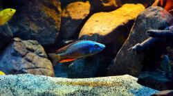 Besatz im Aquarium Malawi Non Mbunas