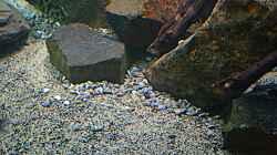 Dekoration im Aquarium Malawi Non Mbunas