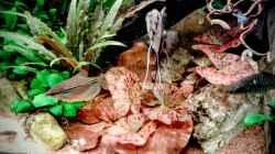 Pflanzen im Aquarium Phantasia