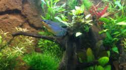 Aquarium Hängendes Eckaquarium