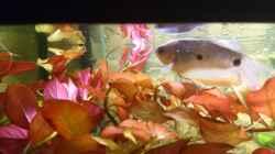 großer Fadenfisch