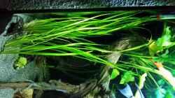 Pflanzen im Aquarium Dream