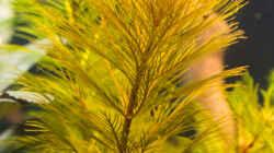 Myriophyllum aquaticum -Roraima- 20.10.15
