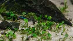 Marsielea spp.   05.07.15