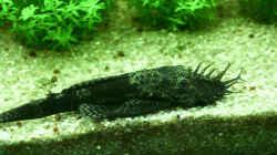 Ancistrus dolichopterus (M)