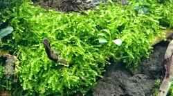 Vesicularia ferriei Moos