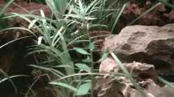 Pflanzen im Aquarium Juwel Lido 200 weiss Fx