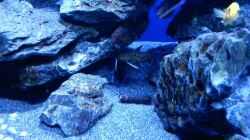 Besatz im Aquarium Rocky Malawi