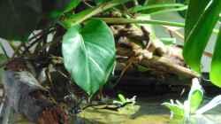 Fensterblatt und Muschelblumen