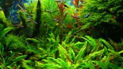 Pflanzen im Aquarium Green Forest(aufgelöst)
