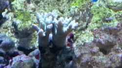 Sinularia sp. 02 - Weichkoralle, gruen
