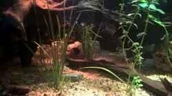 Pflanzen im Aquarium Lars 900l