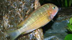 Tropheus ilangi