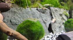 Die Mooskugeln (Cladophora aegagropila) - da sitzen die Amano-Garnelen gern drauf.