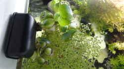 Die Muschelblume (Pistia stratiotes) mussten wir mit einem Zwirn in der Ecke befestigen,