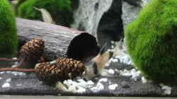 Pandawels (Corydoras panda)