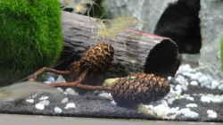 Amano-Garnelen (Caridina multidentata) - die Hauptbewohner im Becken.