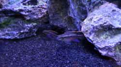 Besatz im Aquarium Becken 32103