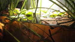 Pflanzen im Aquarium Koh Samui Biotope