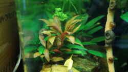 Pflanzen im Aquarium Nano Cube 30l