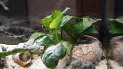 Pflanzen im Aquarium Neolamprologus Multifasciatus