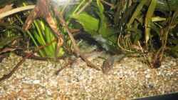 Besatz im Aquarium mein kleines Amazonas Becken 2.1